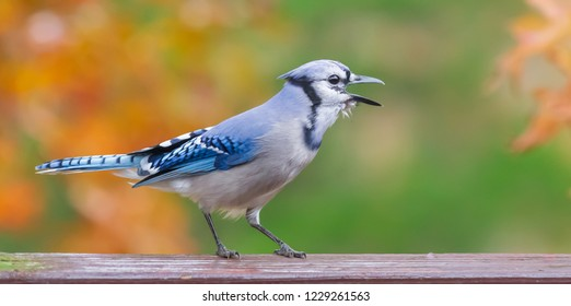Colorful Kentucky giant blue jay bird on deck squawking in mid November Urban wildlife photography 2018