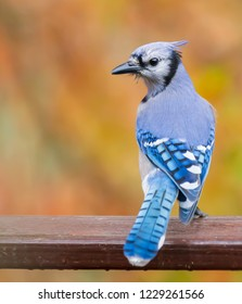 Colorful Kentucky giant blue jay bird on deck in mid November Urban wildlife photography 2018