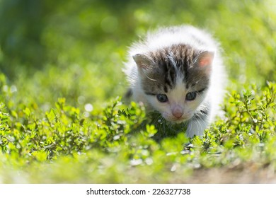 The colorful kitten goes in the green grass
