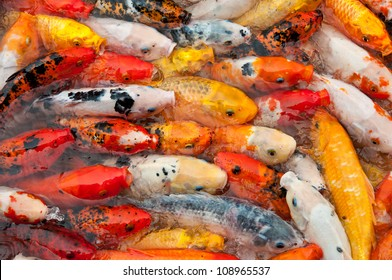 Colorful Koi or carp chinese fish in water