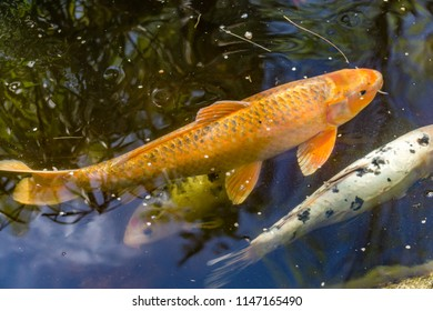 Colorful Koi drift contentedly about their pond