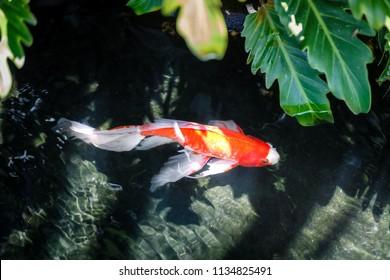 colorful Koi fish in dark water ripple in zen gourami