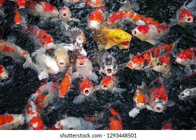 Colorful Koi fish. Hungry fish swim quickly and gathers to get some food in a pond. Most of them have red spots but some have black, orange, yellow, and white on their skins. Japanese carp