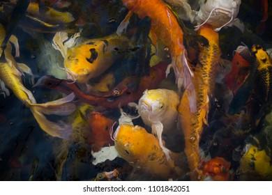Colorful Koi fish (nishikigoi) or fancy carp swiming in koi pond, Thailand