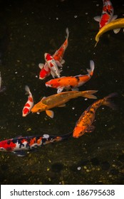 Colorful Koi fish in a pond close up