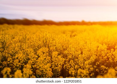colorful landscape of blossom rapeseed on sundown