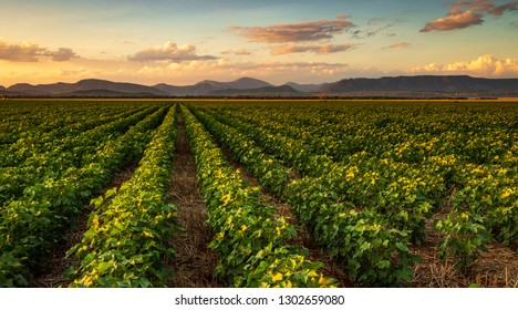 Colorful landscape image of sunset over cotton field with beautiful clouds in the sky - Shutterstock ID 1302659080