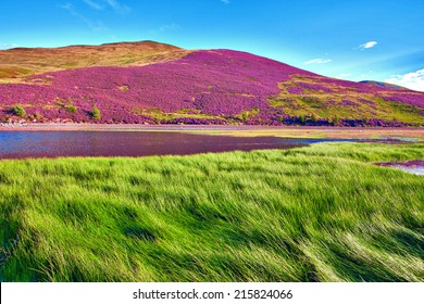Colorful landscape scenery of hill slope covered by violet heather flowers and green valley, mountains and cloudy blue sky on background. Pentland hills, Scotland
