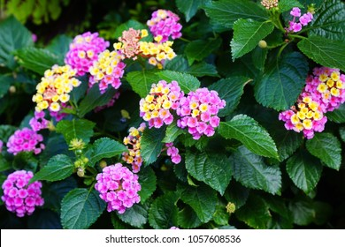 Colorful lantana camara blooming in summer garden