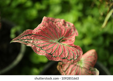 Colorful leaf of Caladium, Queen of the leafy plants