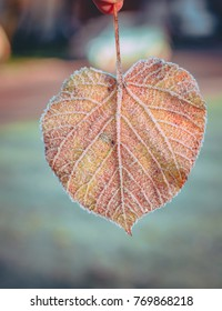 Colorful leaf covered in frost in late Autumn in Latvia. Sunny and cold morning with mild sunlight covering the land.