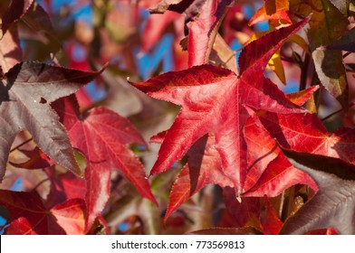 Colorful leafs, liquidamber tree