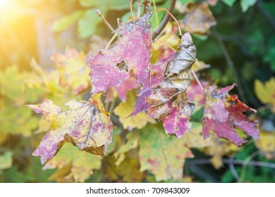 Colorful leaves on the autumn tree and yellow sun rays. Beauty in nature. Seasonal natural scene.