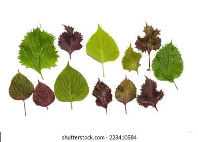 colorful leaves of Perilla frutescens