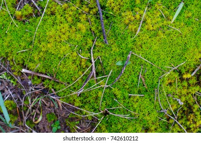 Colorful lime green moss with some tiny sticks and a bit of grass, macro close-up photo.
