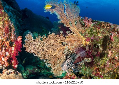 Colorful Lionfish hunting on a tropical coral reef