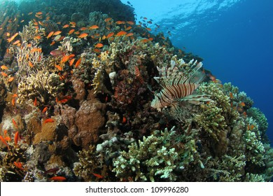 A colorful lionfish on a tropical reef in the Red Sea with a camouflaged scorpionfish sitting on the left side of it. Both are poisonous predators that are normally not aggressive.