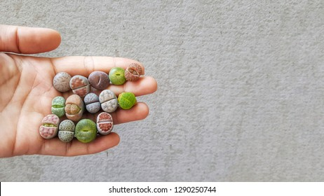 Colorful Lithops species on hand