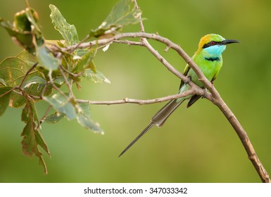 Colorful Little green bee-eater Merops orientalis perching on branch with leaves, green distant background, Udawalawe National Park, Sri Lanka, February