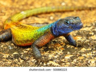 Colorful lizard at Matopos (Matobo) National Park, Zimbabwe