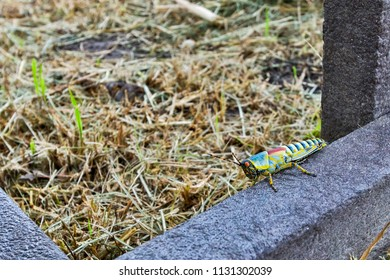 Colorful locust insect sitting on a bench in the field