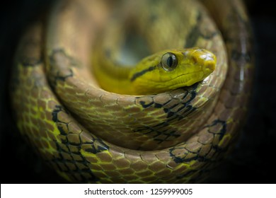 Colorful and looks of  Dog-toothed Cat Snake (Boiga cynodon).