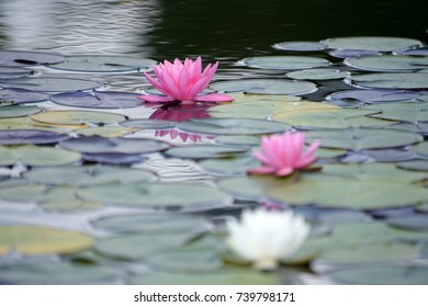 Colorful lotus water lilies on water at botanical garden