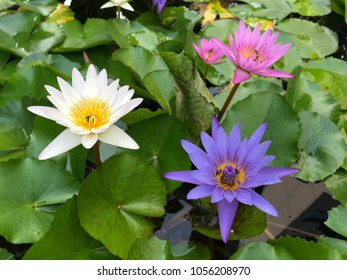 Eat lotus images stock photos vectors shutterstock the colorful lotuses are planted in the lake lotus is blooming in the pool in mightylinksfo