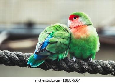 Colorful lovebirds, couple of lovebirds