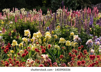 Colorful Lupine Plants and Bearded Iris Flowers in Spring Garden