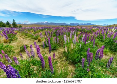 colorful lupins in the mountains, canterbury, new zealand