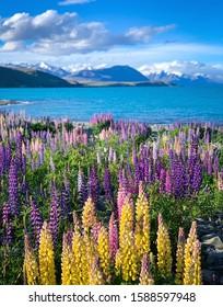 Colorful lupinus flower blossom at Lake Tekapo, New Zealand