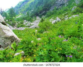 Colorful lush alpine meadow under Crna prst in Julian alps in Slovenia full of wildflowers incl. blue wood crane's bill (Geranium sylvaticum) yellow creeping buttercup (Ranunculus repens - Shutterstock ID 1478727224