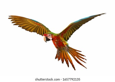 Colorful macaw parrot flying isolated on white.