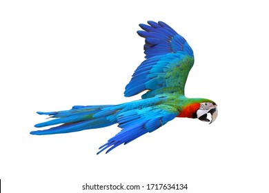 Colorful macaw parrot flying isolated on white background.