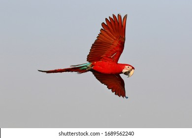 Colorful macaw parrot flying in the sky