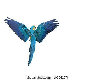 Colorful macaw parrot flying with wings spread isolated on white