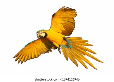 Colorful macaw parrot isolated on white.