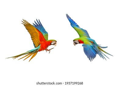Colorful macaw parrots flying isolated on white