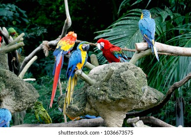 Colorful Macaw parrots ,Scarlet Macaw,Green-winged Macaw with Blue and Yellow Macaw. The beautiful parrot species suffered from extinction through habitat destruction and bird trade.