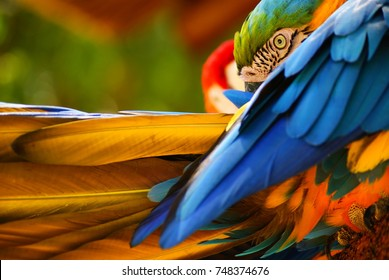 Colorful Macaws Stretching Wings