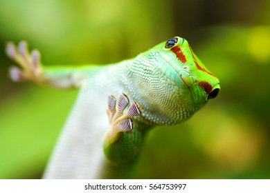 a colorful macro closeup of a green day gecko lizard animal reptile Phelsuma madagascariensis native to Madagaskar looking in the camera