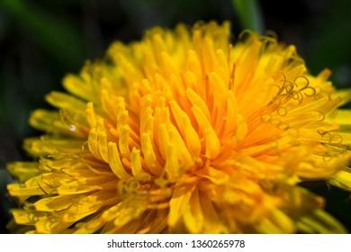 Colorful macro of yellow dandellion (taraxacum) head with all petals seen. Shallow depth. Day, sunlight.