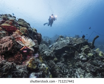 Colorful Magnificent Feather Duster worm  as a part of the coral reef in the Caribbean Sea around Curacao with view up to the blue surface and diver in background