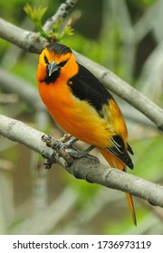 colorful male bullock's oriole perched on the branch of  an ash tree in early summer in broomfield, colorado