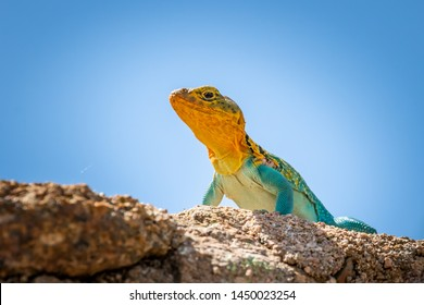 A colorful male Collared Lizard (Crotaphytus collaris) or Mountain Boomer resting on a rock in the Wichita Mountains National Wildlife Refuge in Cache, OK, USA.