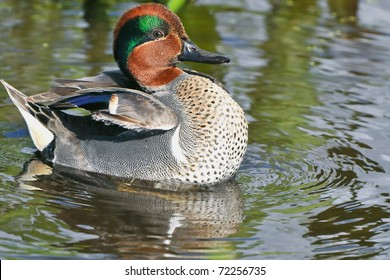 colorful male green winged teal duck swimming in florida wetland pond
