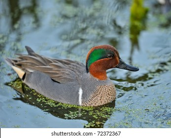 colorful male green-winged teal duck swimming in florida wetland pond