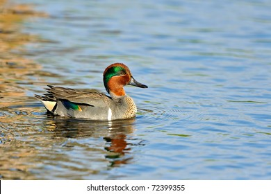 colorful male green-winged teal duck showing wing patch and swimming in florida wetland pond with clean background for copy space