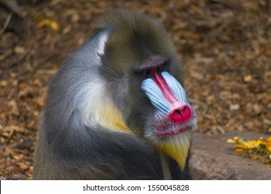 Colorful Male Mandrill Monkey Face; Mandrill is the Largest Monkey